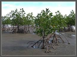 Image result for mangrove forests