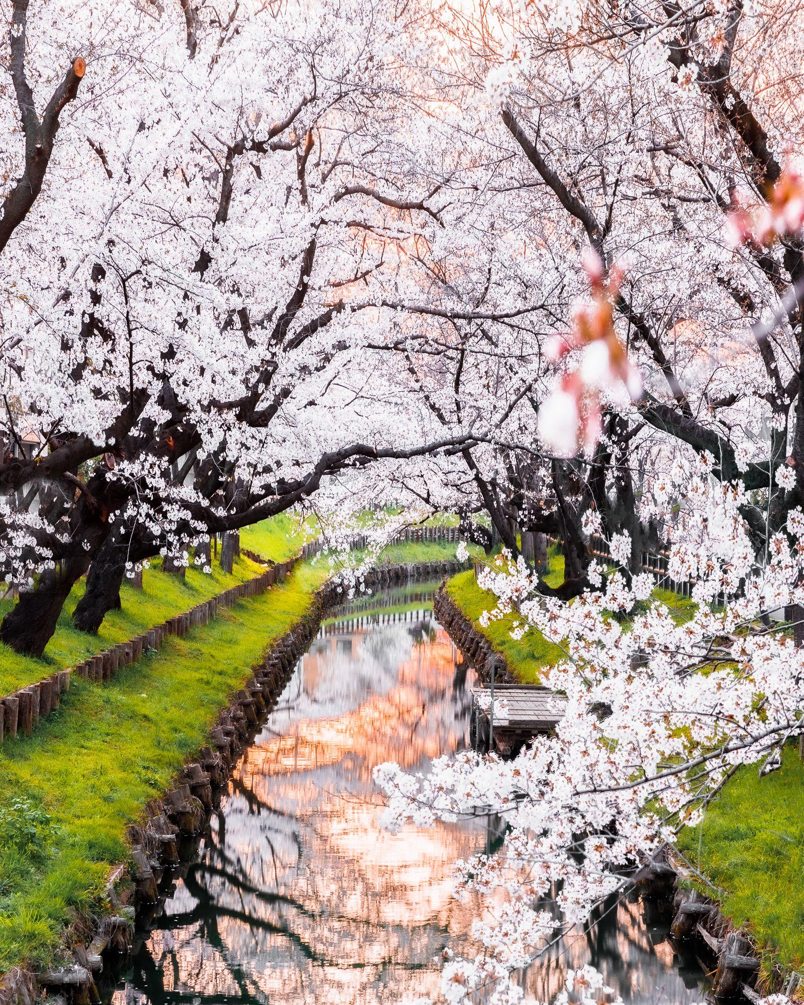 Best Sakura Photo In Japan Cherry Blossom In Kawagoe North Of Tokyo In Saitama Cherry Blossom Japan Japan Photo Spots