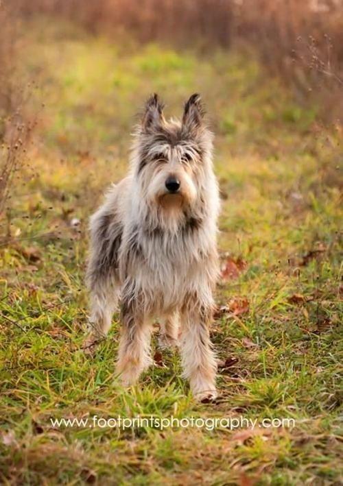 Pastor Da Picardia Rare Dog Breeds Purebred Dogs Beautiful Dogs