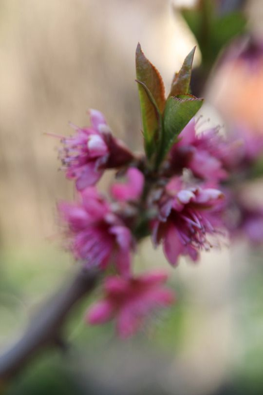 peach tree blossom by Chari-ot