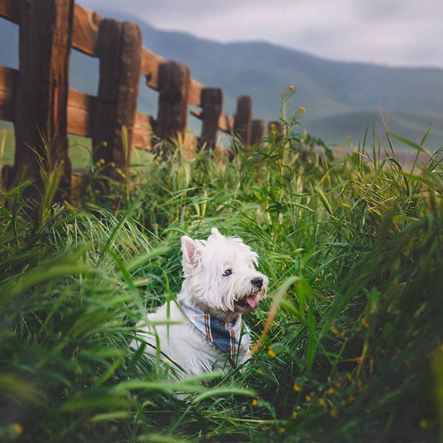 Don't you wish you were a cowboy sometimes?  I'm loving these country walks,  and then resting on a green patch of grass, oh, it's heaven on earth!. .  Gorgeous Bandana by @barkindazzle. .  #TOT #westie #cowboydog