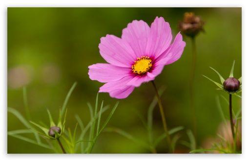 Pink Cosmos Flower HD wallpaper for Standard 4:3 5:4 Fullscreen UXGA XGA SVGA QSXGA SXGA ; Wide 16:10 5:3 Widescreen WHXGA WQXGA WUXGA WXGA ...