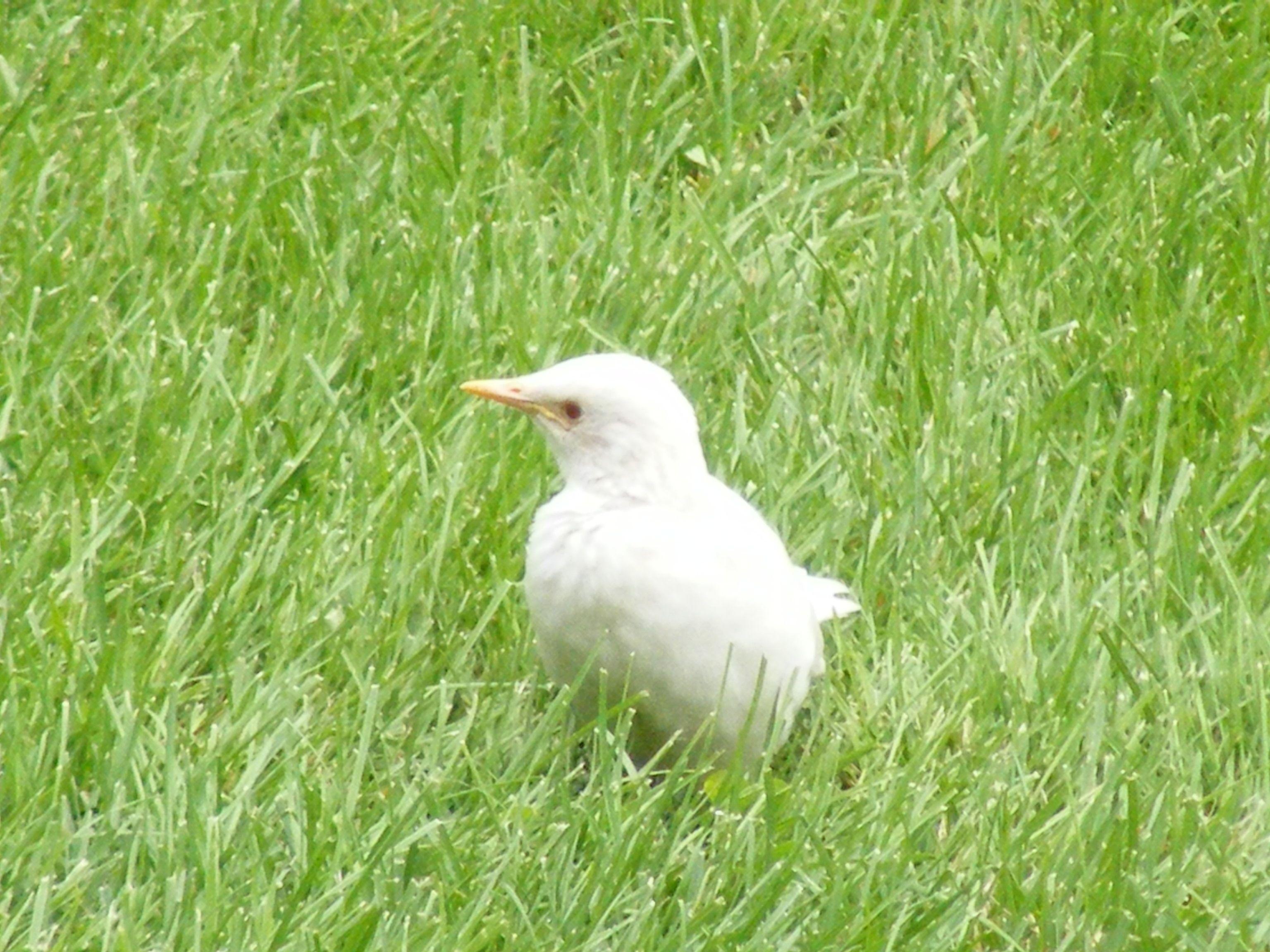 Albino Starling Tierbilder Ausgestopftes Tier Tiere