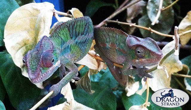 Keeping Chameleons Together Chameleon Chameleon Care Pets