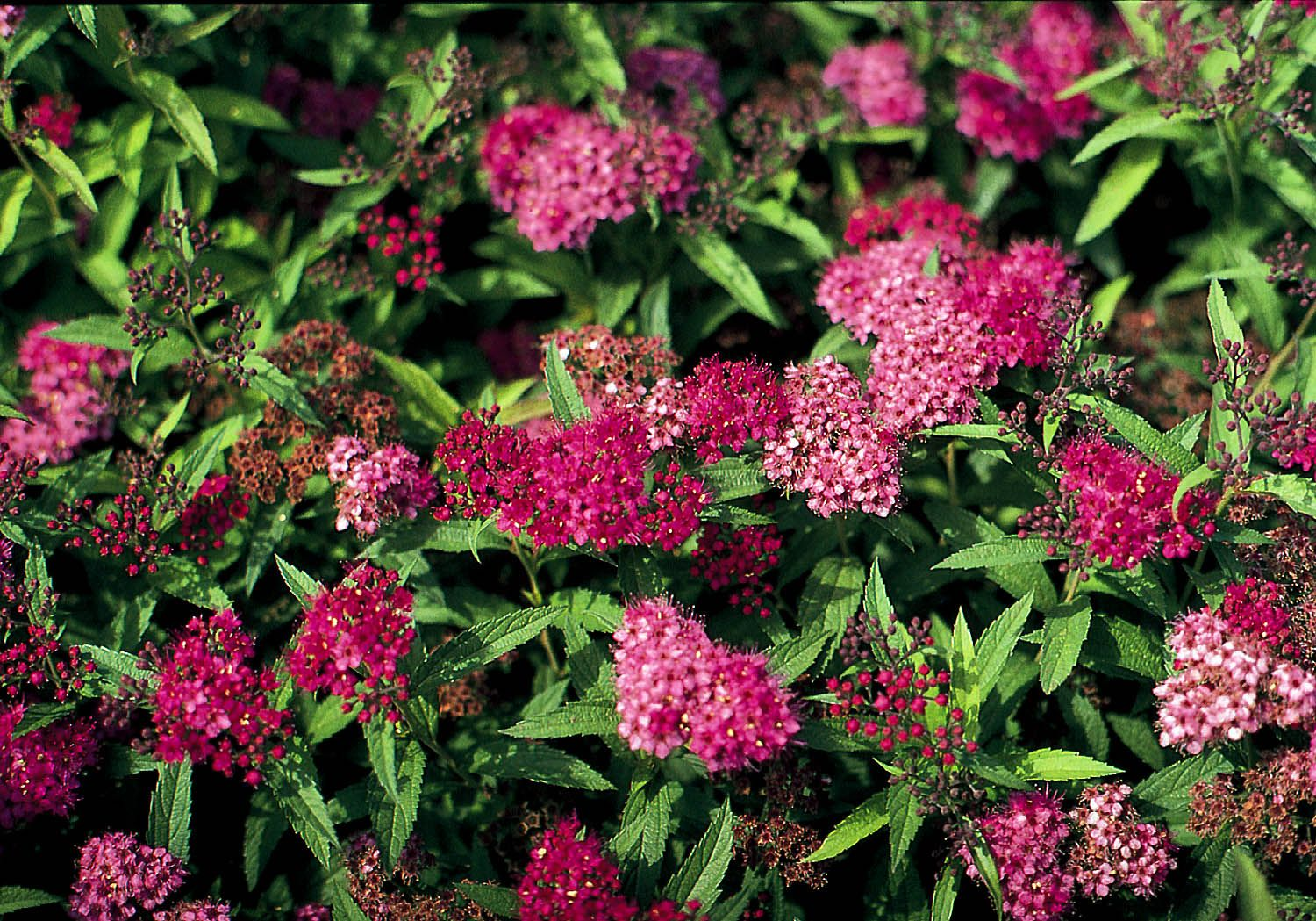 Neon Flash Spirea is such a useful little thing! Bright ...