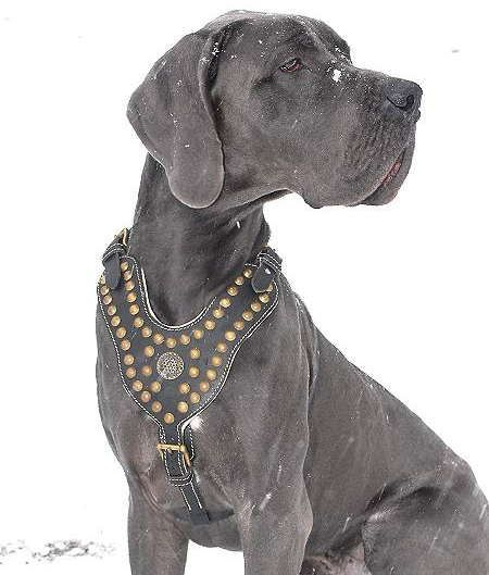 Exclusive Design Studded Leather Harness For Great Dane Great