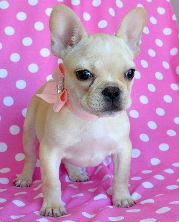 Cassie S Closet Bulldog French Bulldog French Bulldog Puppy