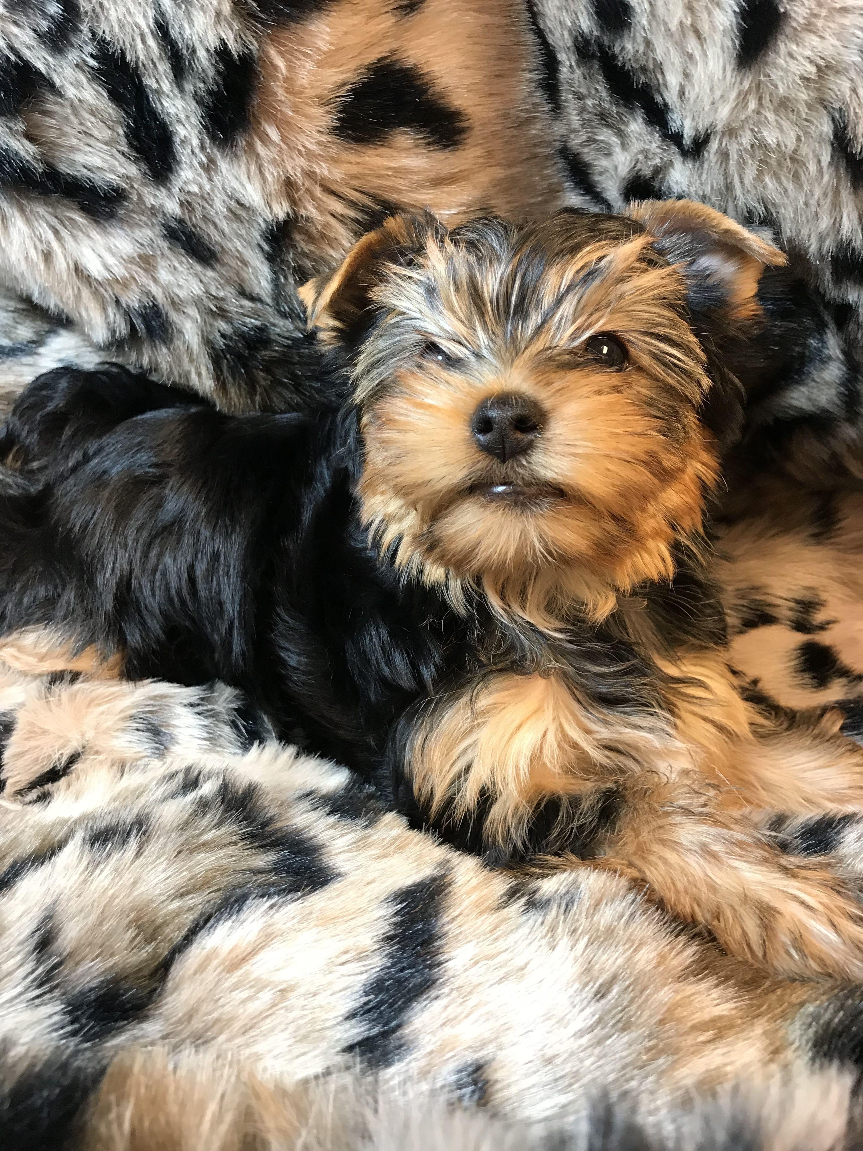 Radford Yorkshire Terriers 540 986 1604 Yorkie Puppy Terrier