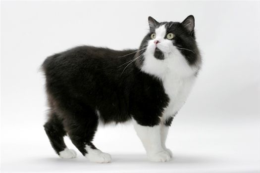 The Cymric Is A Long Haired Manx We Have 2 Sisters Who Are Black And White Cymrics Cat Breeds Manx Cat Tuxedo Cat Facts