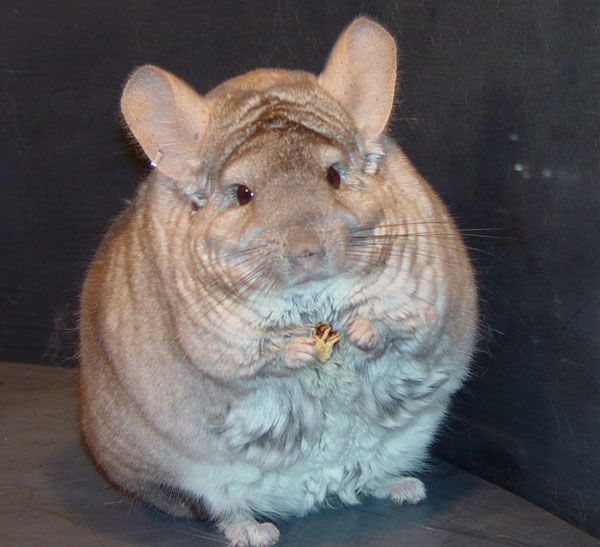 The size of a chinchilla is about more than inches and pounds ...