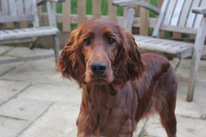 Irish setter pup classic look irish setter dogs and