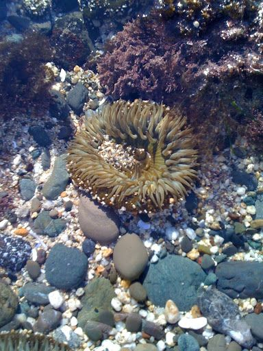 Green Anemone In A Tidepool At San Mateo County S Fitzgerald Marine Reserve Moss Beach Ca Moss Beach Travel Around The World Marine Reserves