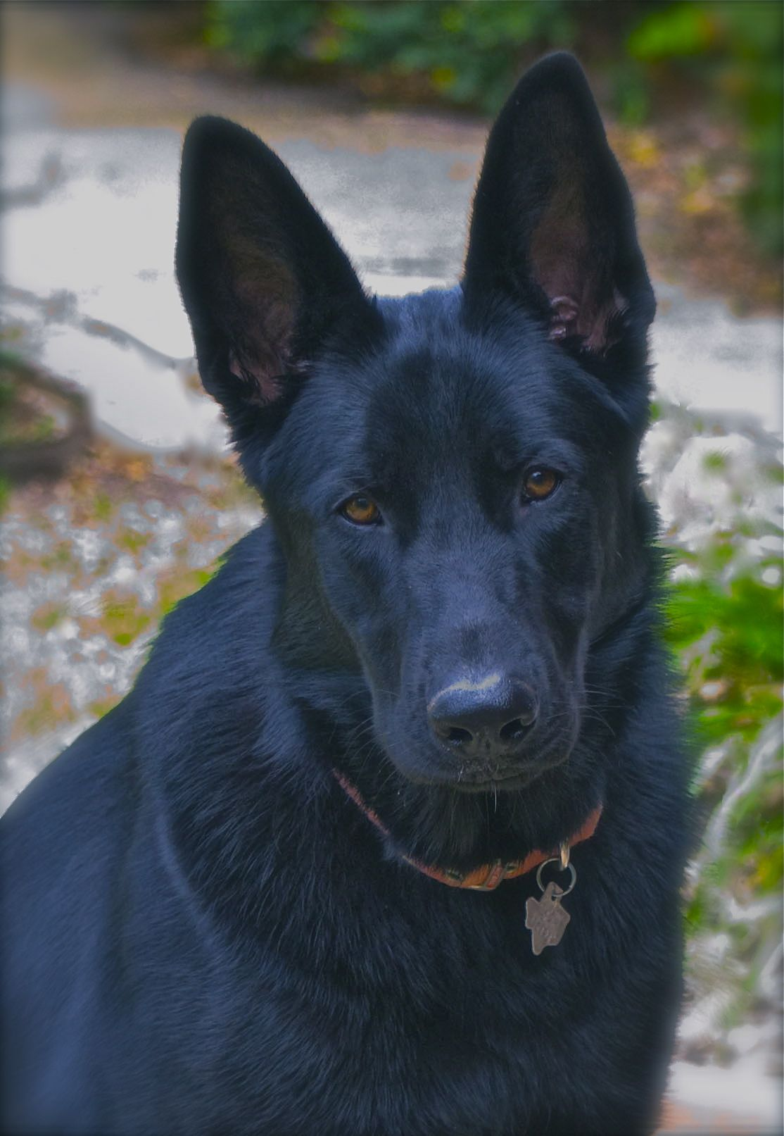 Black Gsd 10 Months Old What A Beauty Www Capemaydogs Com