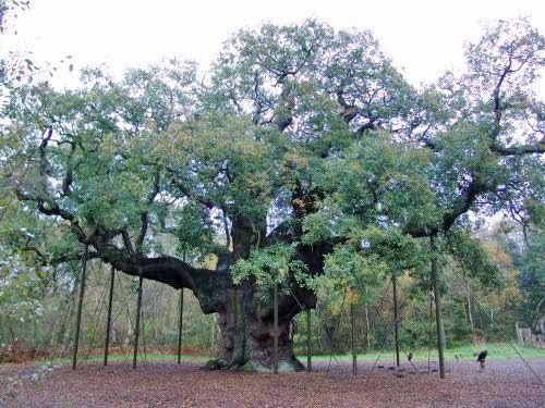 Sherwood Forest, The Major Oak