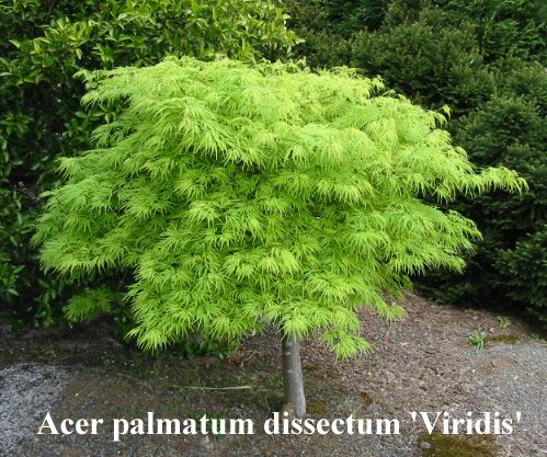 acer palmatum 'dissectum viridis' green laceleaf japanese ...