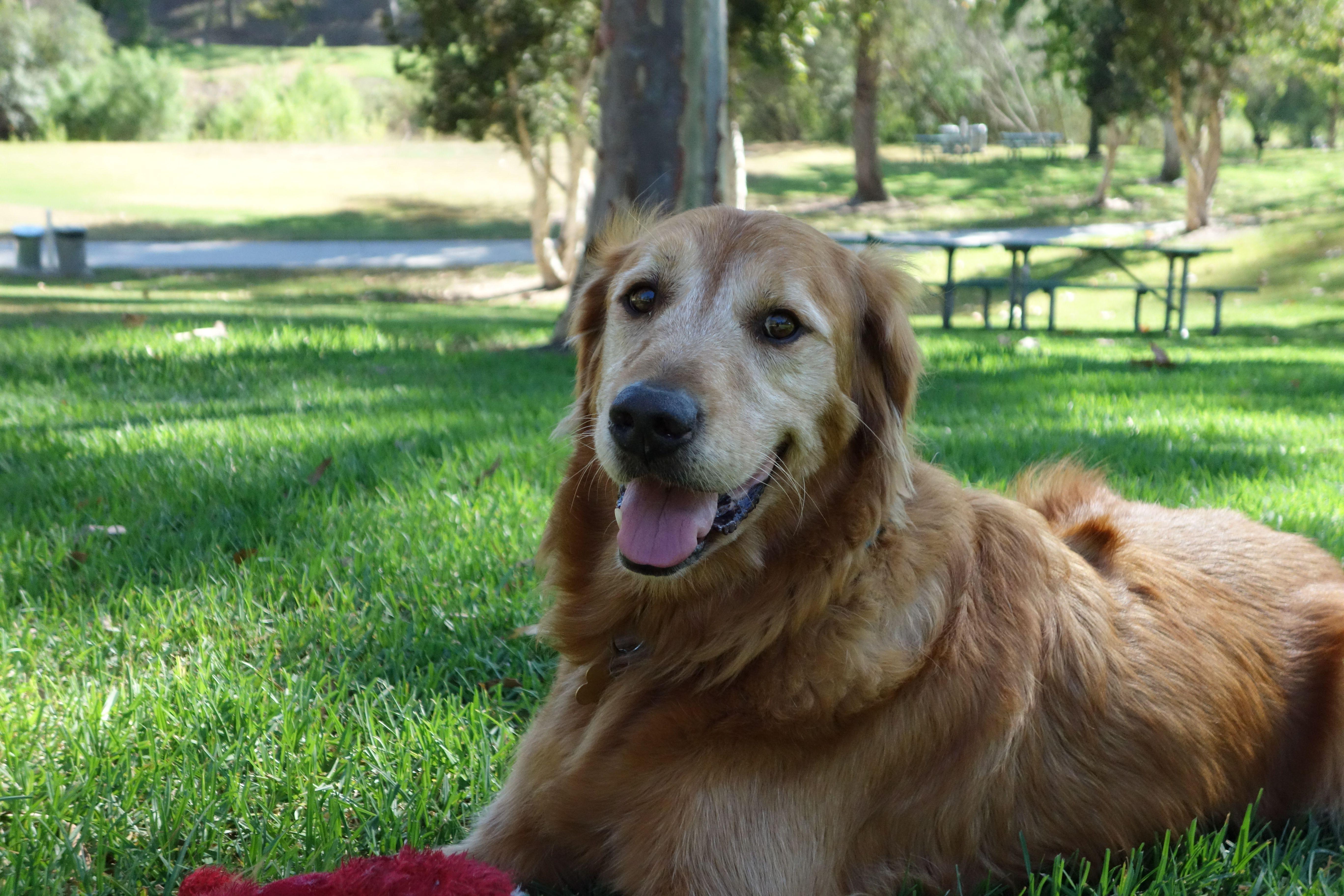 Meet Rustan Southern California Golden Retriever Rescue