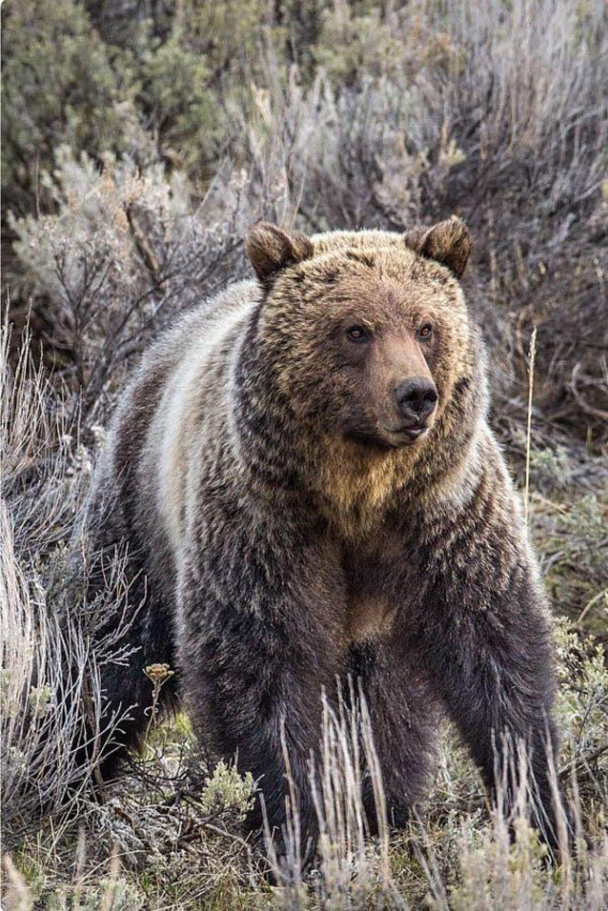 Robert Lake Medicine Grizzly Bear