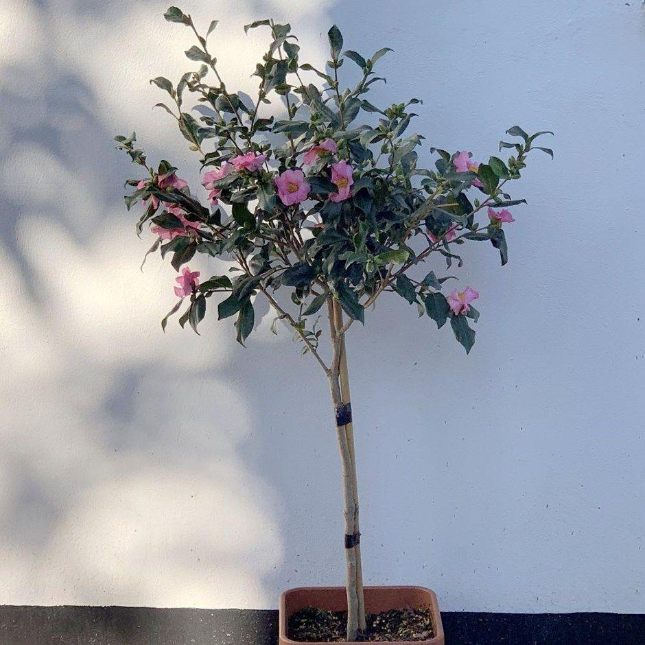 Camellia Sasanqua Half Standard 50cm Stem Autumn Flowering Camellia Fall Flowers Potted Trees Flowers
