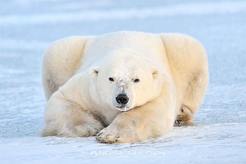 male polar bear lying down on blue ice
