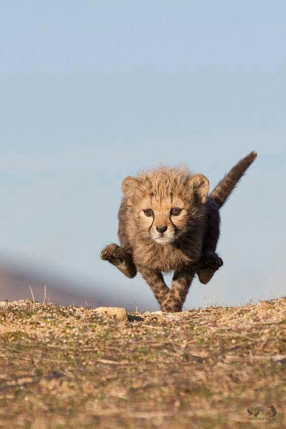 Cheetahs cub running along...