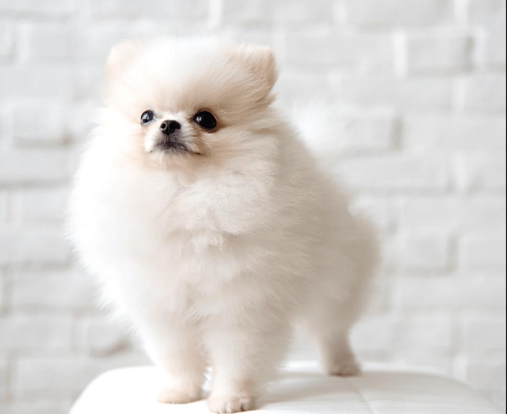 Tiny Pomeranian How Much Do They Cost Pomeranian dog