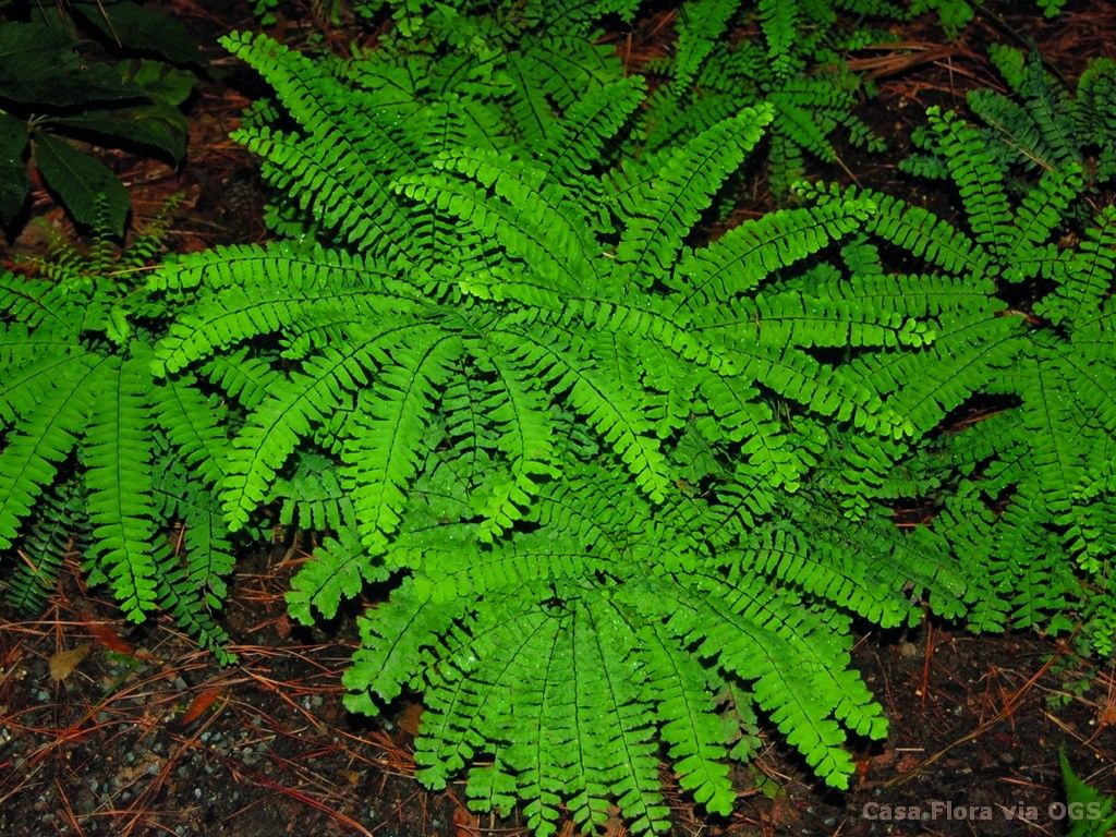 adiantum pedatum - oriental garden supply llc   my plant