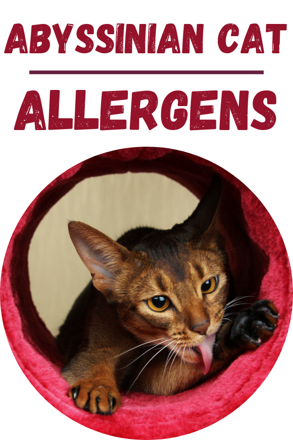 Are Abyssinian Cats Hypoallergenic? [ 2020 ] Abyssinian