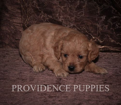 Cavapoo puppy for sale in WAYLAND, IA. ADN70778 on