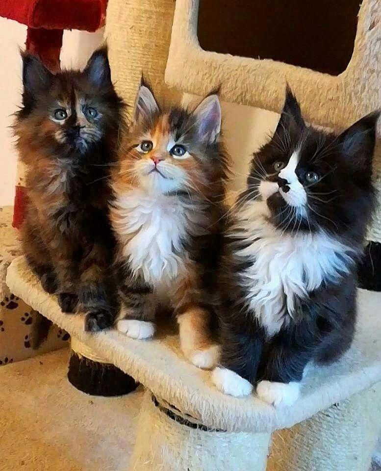 Cats With Down Syndrome CatsPurring id8798576606