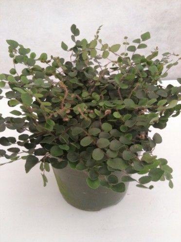 Pellaea Rotundifolia Button Fern Indoor Plant Care Plant Care