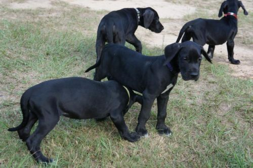 Great Dane Puppies Pets Animals For Sale In Houston Ebay