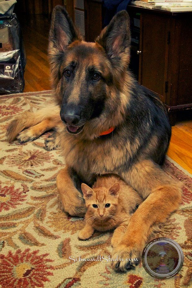 My German Shepherd Thinks Our New Cat Is His New Cat