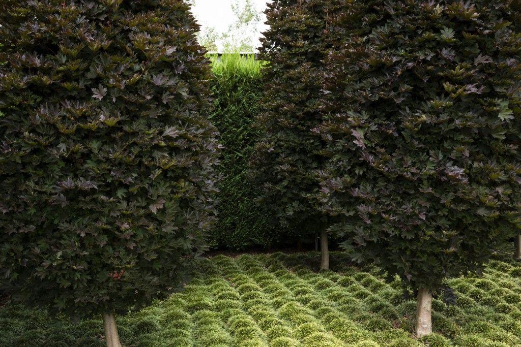 Maple Trees Acer Platanoides Crimson Sentry Under Planted With Mini Mondo Gr Peter Fudge More