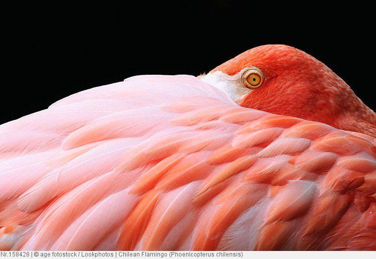 Chilean Flamingo (Phoenicopterus chilensis) Flamingos