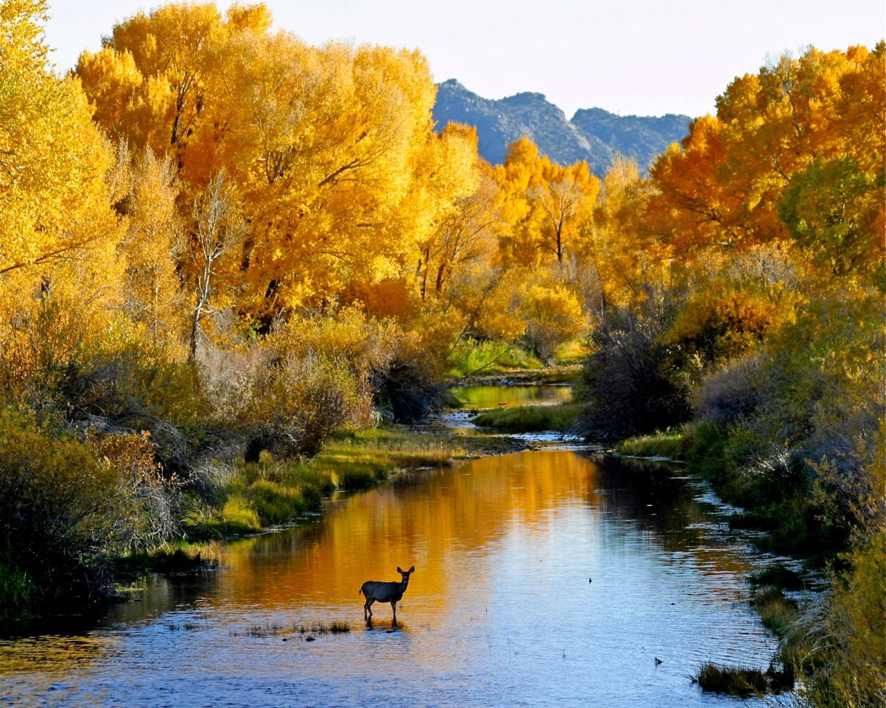 Mule deer posing in the river in autumn. Located in Carbon