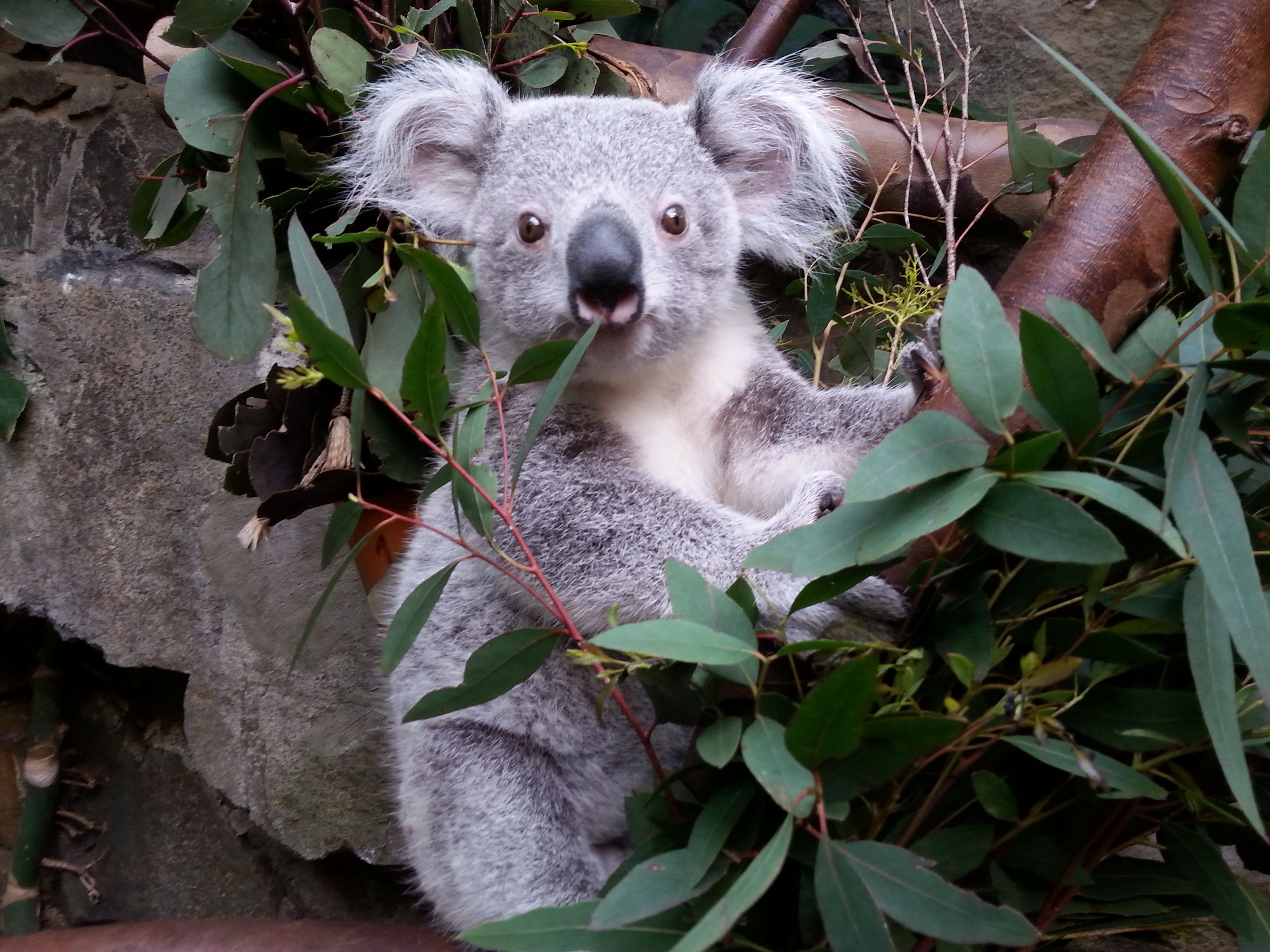 Read about this Koala joey's big adventure at the Edinburgh Zoo on ZooBorns.com and at http://www.zooborns.com/zooborns/2014/06/koalas-big-adventure-at-edinburgh-zoo.html