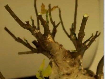 como podar una higuera pin de verde bonsai en bonsai higuera pinterest bonsai