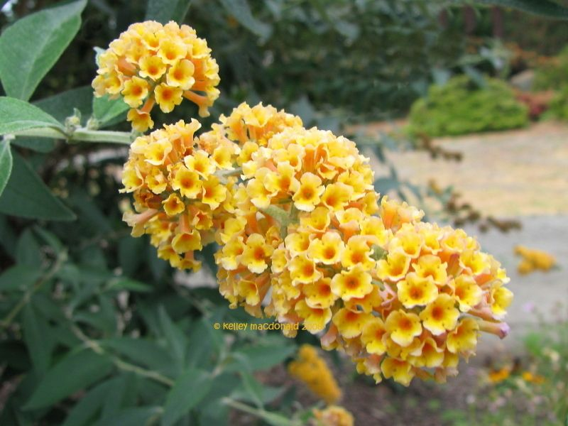 Honeycomb variety butterfly bush | Gardening and Flowers | Pinterest