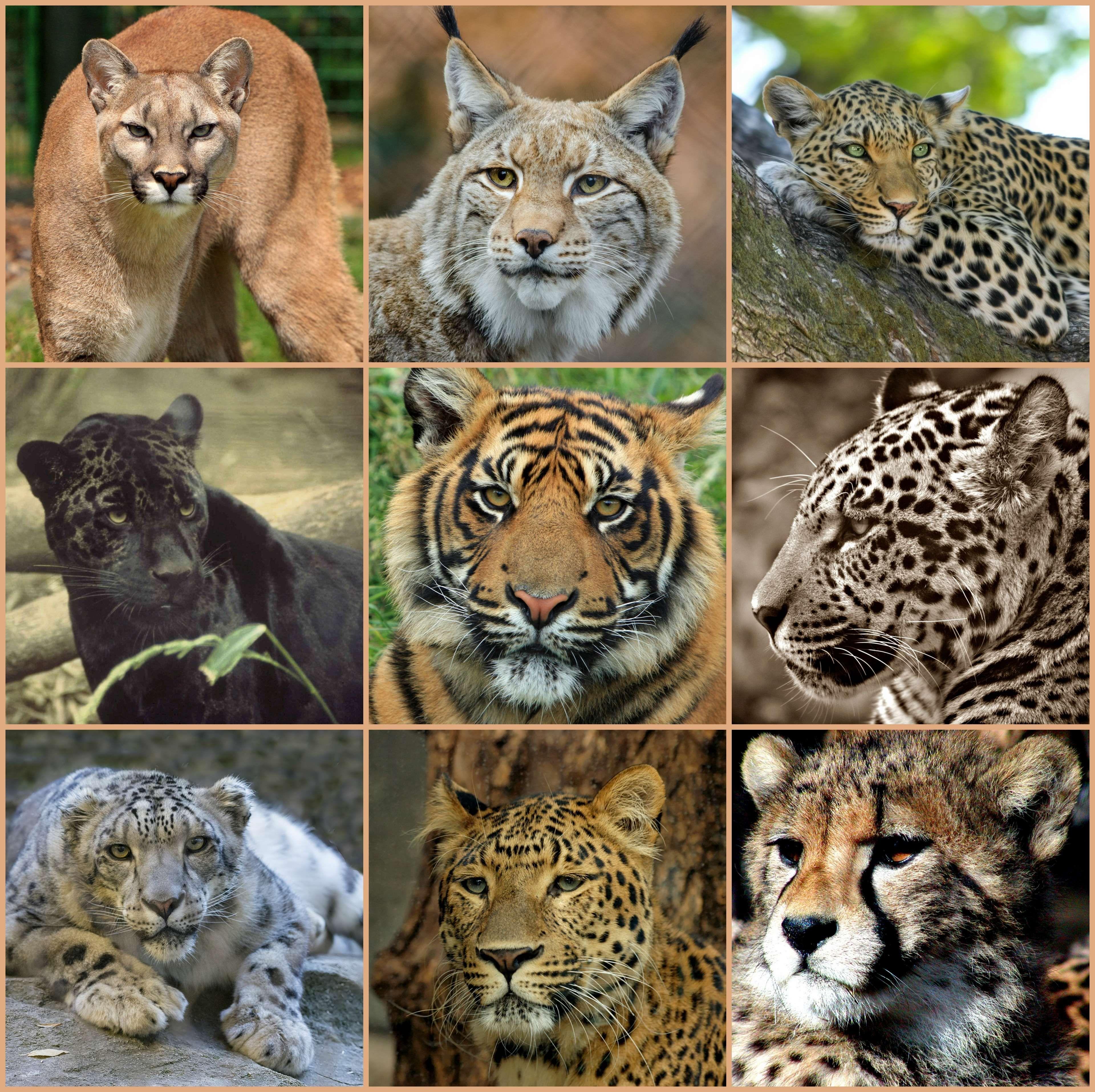 Puma cougar jaguar woman