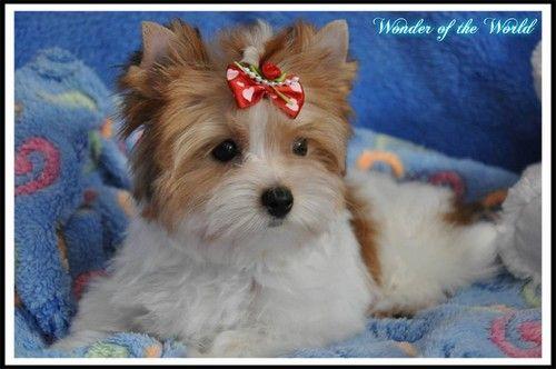 Biewer York Terrier White Cappucinno Kelly Elegant Yorkie