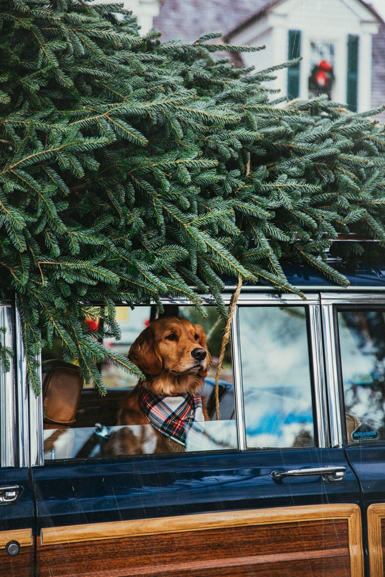 Yorkshire Christmas Holidays Are Coming Dog Holiday Christmas Dog Christmas Tree Farm