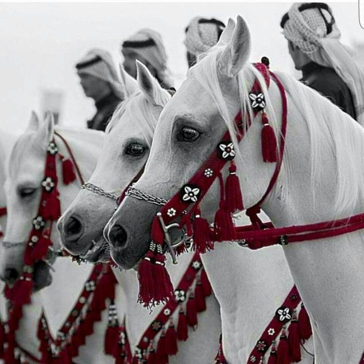 stunning beauty of #arabian horses ---------- #arabian #stallion #horse #caballo...   - Pferde - #Arabian #beauty #caballo #Horse #Horses #Pferde #stallion #stunning