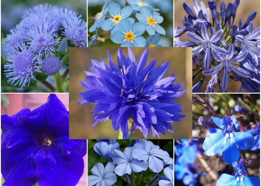 Niebieskie Kwiaty Balkonowe 7 Najpopularniejszych Zielony Ogrodek Flora Garden Plants