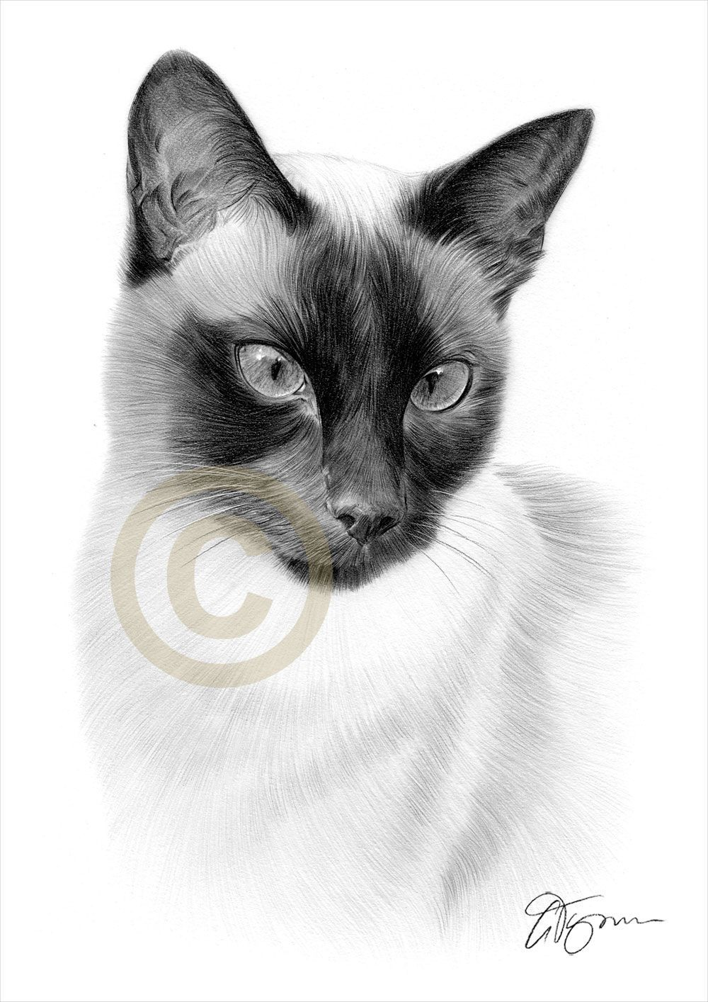 Siamese Cat Pencil Drawing By Artist Gary Tymon Siamesecatcare
