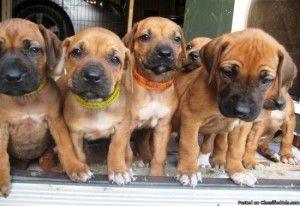 Rhodesian Ridgeback Puppies Columbus Ohio Rhodesian Ridgeback Puppies Cute Baby Animals Baby Animals
