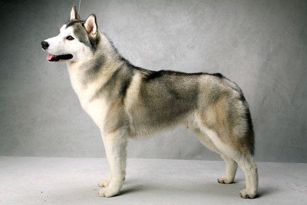 Siberian Husky Westminster Dog Show Dog Show Purebred Dogs