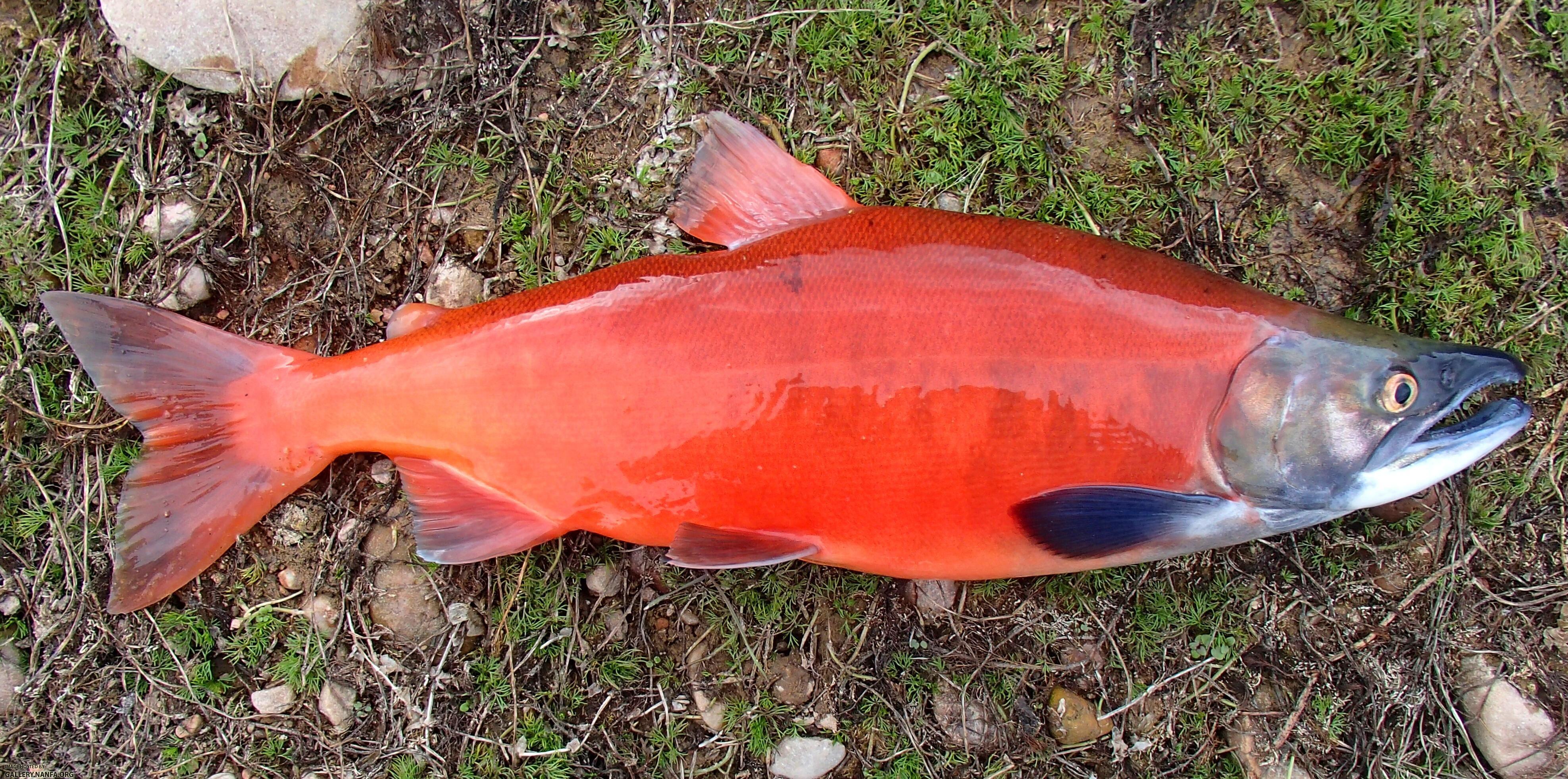 salmon - Google Search | Project 5 | Pinterest | Melanistic animals ...