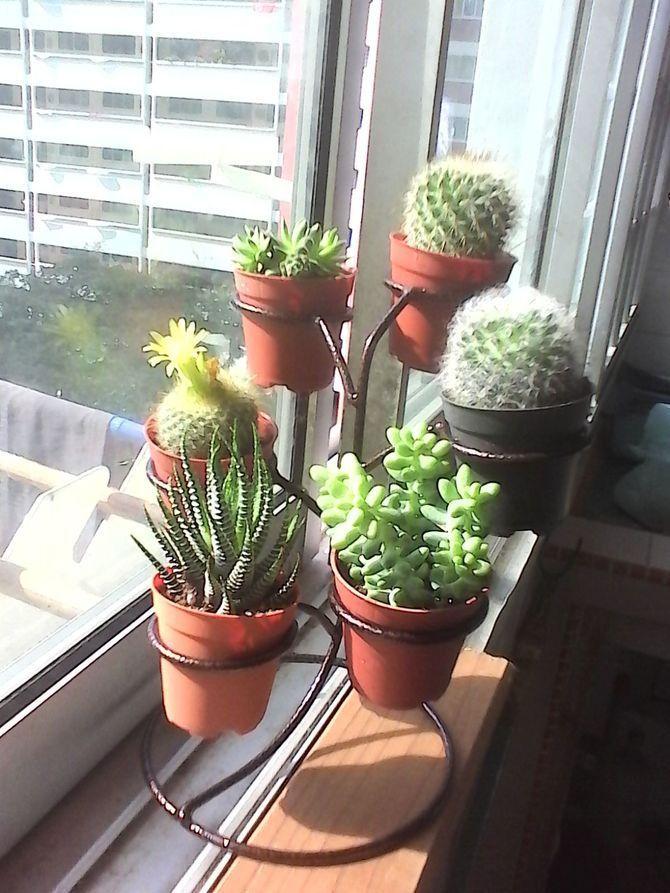 Grow Cactus Indoors | Indoor cactus plants, Indoor cactus ...