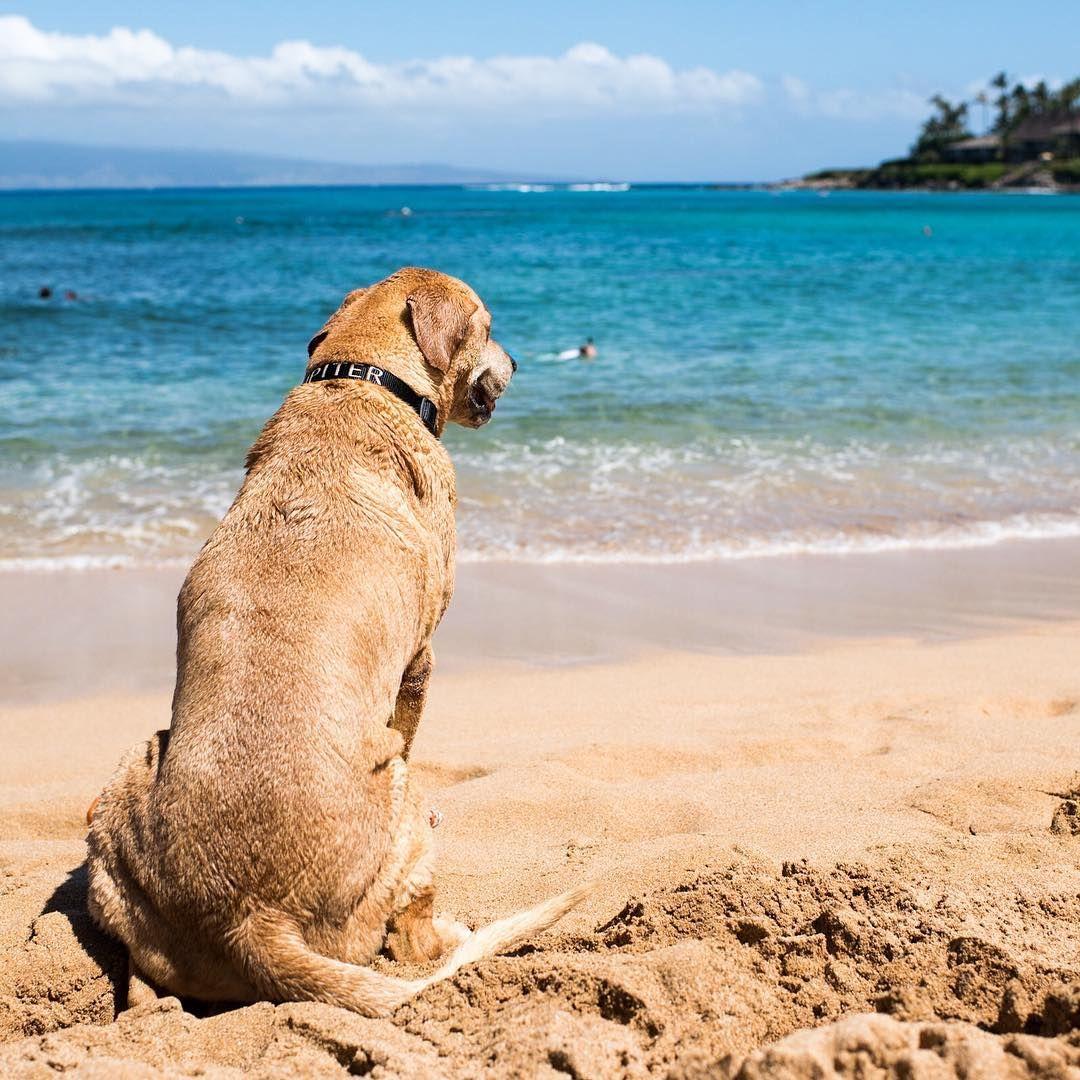 "Jupiter, Labrador Retriever/Rhodesian Ridgeback mix (13 y/o), Napili Bay, Lahaina, HI • ""He's like a lifeguard – he likes watching over everyone."""