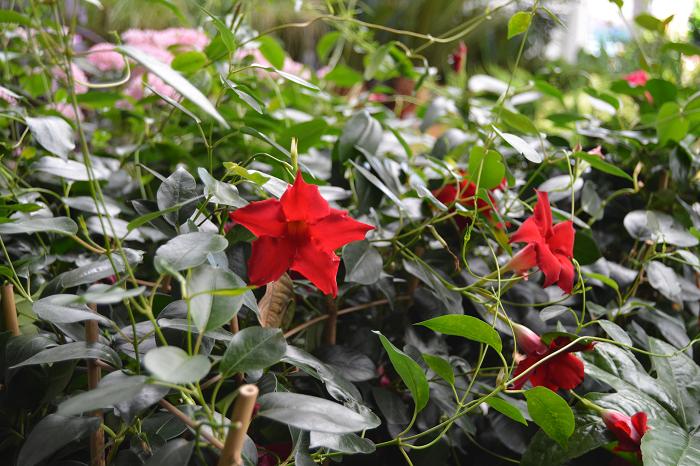 Enredadera de interior con flor diplademia mandevilla - Enredaderas de interior ...